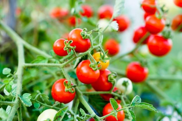 Red currant tomato in the kitchen garden. Premium Photo