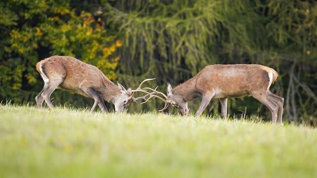 Оленьи олени занимаются территориальной борьбой Premium Фотографии