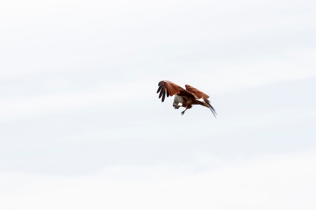Red eagle eatting on the sky in nature at thailand Premium Photo