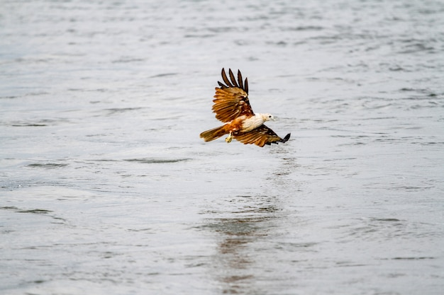 Red eagle fly on the sea in nature at thailand Premium Photo