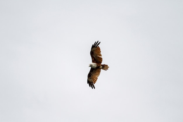 Red eagle fly on the sky in nature at thailand Premium Photo