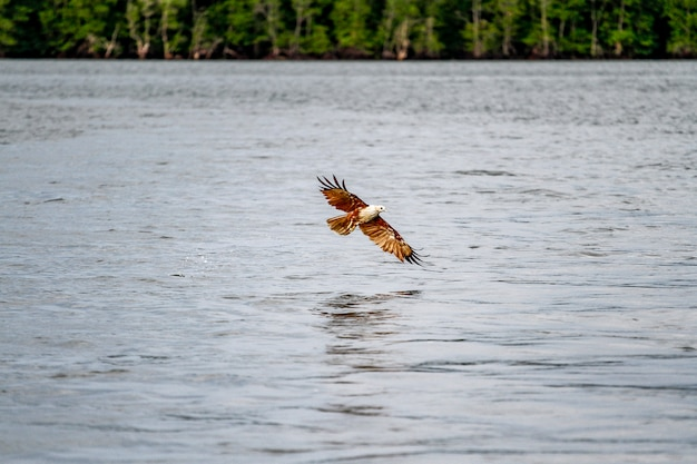 Red eagle on the sea in nature at thailand Premium Photo