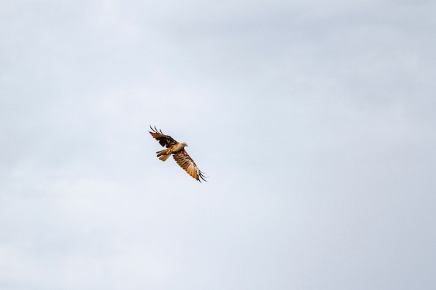 Red eagle on the sky in nature at thailand Premium Photo