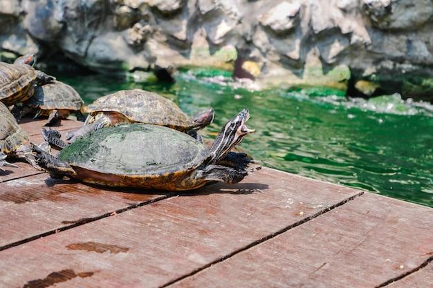 Red eared slider turtle Premium Photo