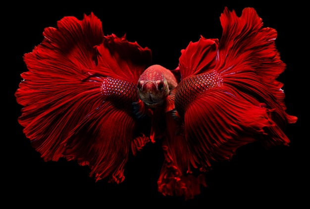 Red fighting fish  with flutter waver fins swimming. Premium Photo