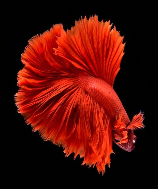 Red fighting fish. Premium Photo