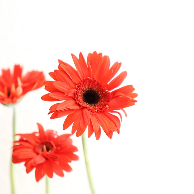 Red Flowers On White Background For Anniversary Birthday Wedding