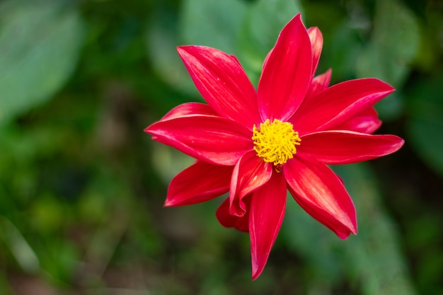 Red Flowers With Yellow Stamens Green Background Photo Premium
