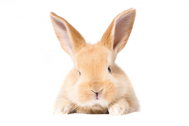 Red fluffy rabbit looks at the sign. isolated on white background easter bunny Premium Photo
