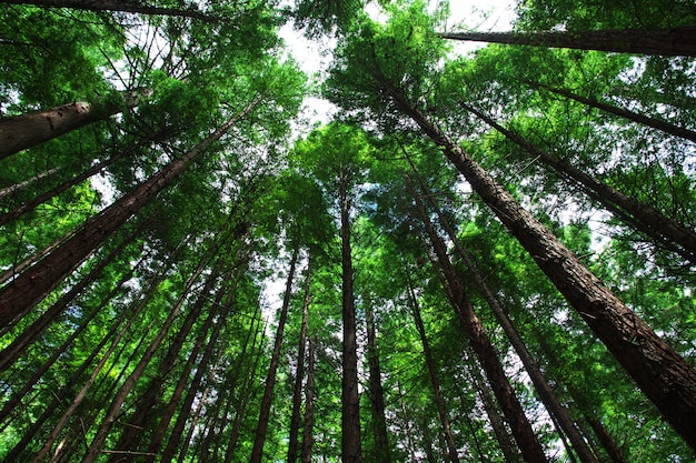 Red forest in rotorua, new zealand Premium Photo