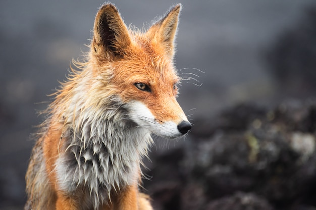 Red fox at the edge of a forest/red fox/red fox (vulpes vulpes) Premium Photo