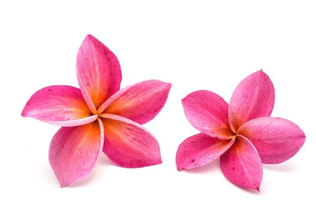 Красные цветы франжипани, изолированные на белом. Premium Фотографии