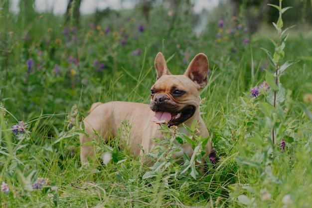 Красный французский бульдог на прогулке в поле. собака высунула язык Premium Фотографии