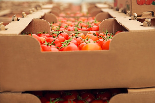Red fresh tomatoes gathered into a cardboaard boxes for purchasing. Free Photo