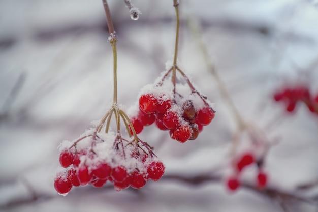 冬季の赤い冷凍ベリーガマズミ属の木 Premium写真