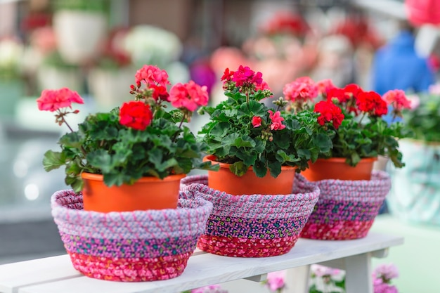 Красная герань в цветочных горшках. Premium Фотографии