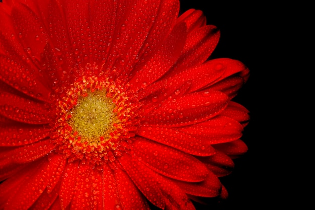 Red gerbera flower closeup on black background Premium Photo