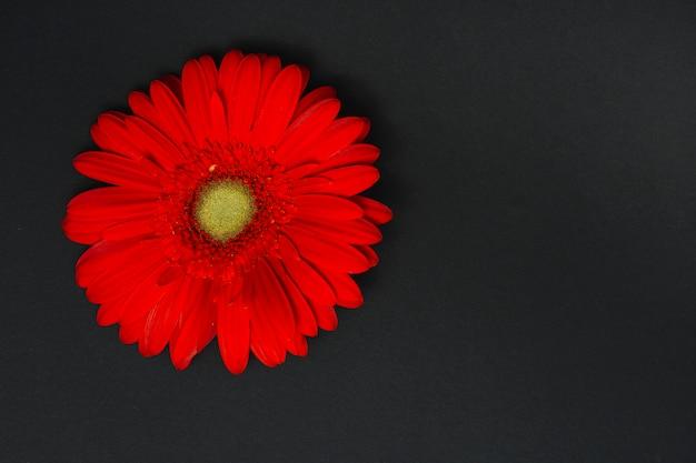 Red gerbera flower on dark table Free Photo