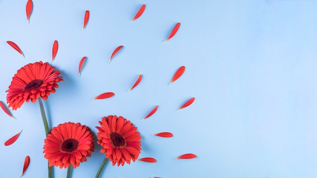Red gerbera flower with petals on blue background Free Photo