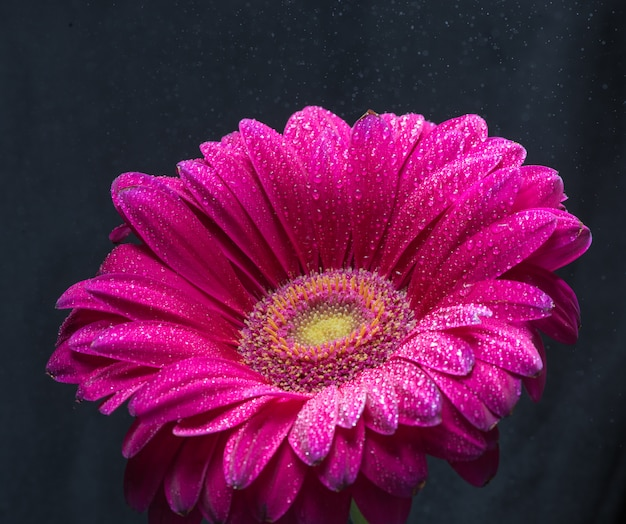 Red gerbera flower with water drops close up on black background Premium Photo
