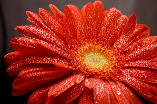 Red gerbera flower with water drops closeup Premium Photo
