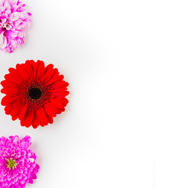 Red gerbera with two pink chrysanthemum on white background Free Photo