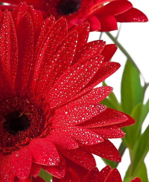 赤いガーベラをクローズアップ 無料写真