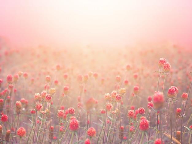 Red globe amaranth field in fog at sunrise morning. Premium Photo