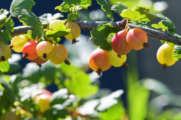 Red gooseberry berries. many berries ripe red gooseberries on a branch in the garden. horizontal photography Premium Photo