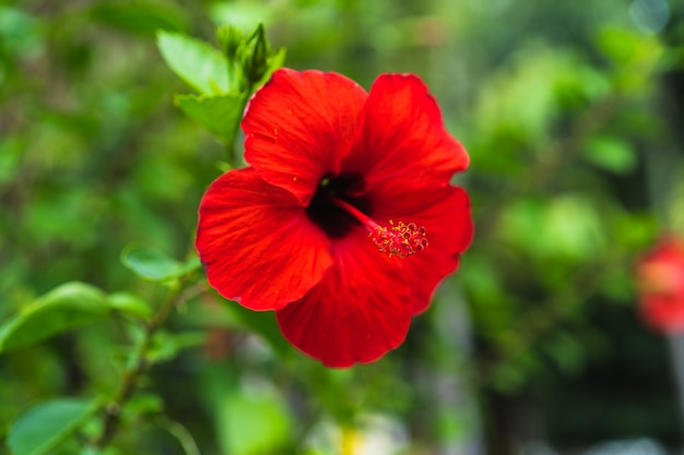 Red Hibiscus Flower On A Green Background Selective Focus Photo