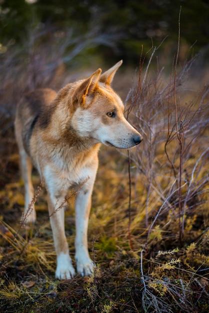 Рыжая охотничья собака смотрит в даль леса осенью Premium Фотографии