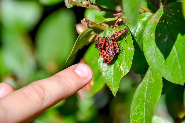 Красные насекомые собрались в кучу на листе дерева Premium Фотографии