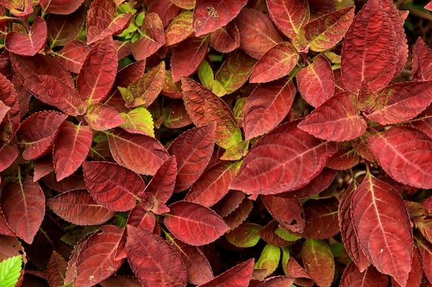 Red leafy plants found in a garden Premium Photo