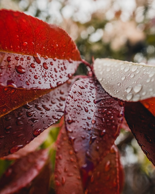Красные листья с каплями воды Бесплатные Фотографии