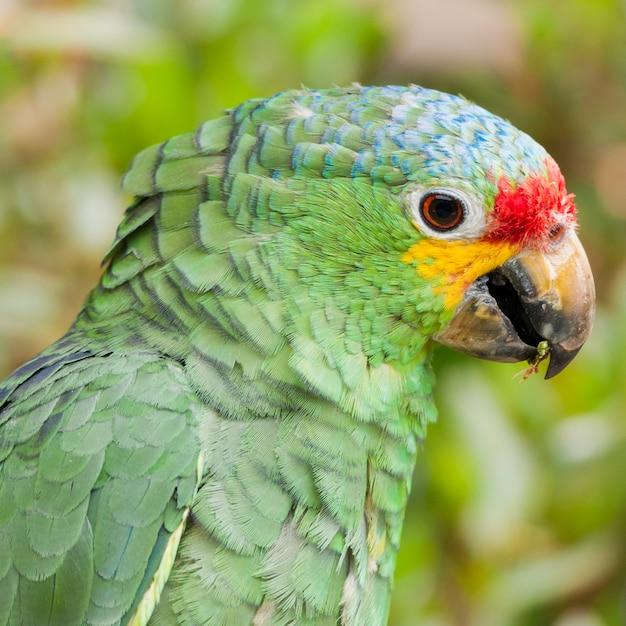 Амазонский попугай red lored (amazona autumnalis), Premium Фотографии