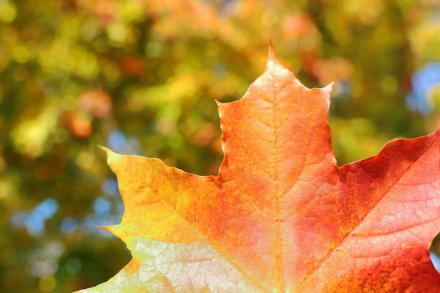 Red maple leaf with blurred of colorful tree leaves background. Premium Photo