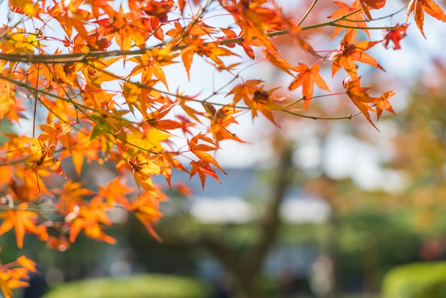 Red maple leaves blooming at park in kyoto Premium Photo