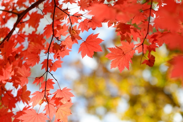 Red maple leaves border at autumn forest, blurred background. Premium Photo