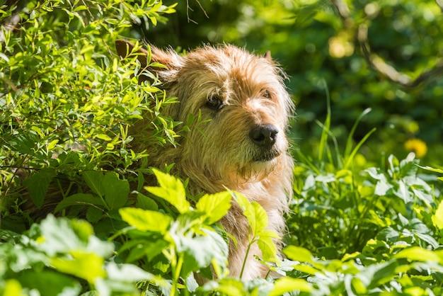 赤い雑種犬が緑の芝生で日陰で暑さを逃れる Premium写真