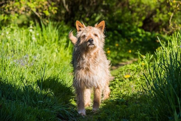 村の道の緑の芝生の上に立っている赤い雑種犬 Premium写真