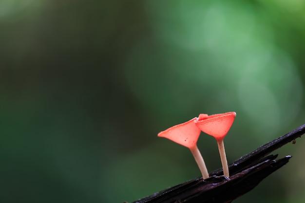 Red mushrooms, pink burn cup mushroom, tarzetta rosea ( rea) dennis, pustuluria rosea rea Premium Photo