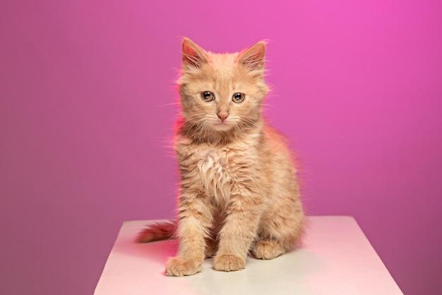 ピンクのスタジオの背景に赤または白の猫 無料写真