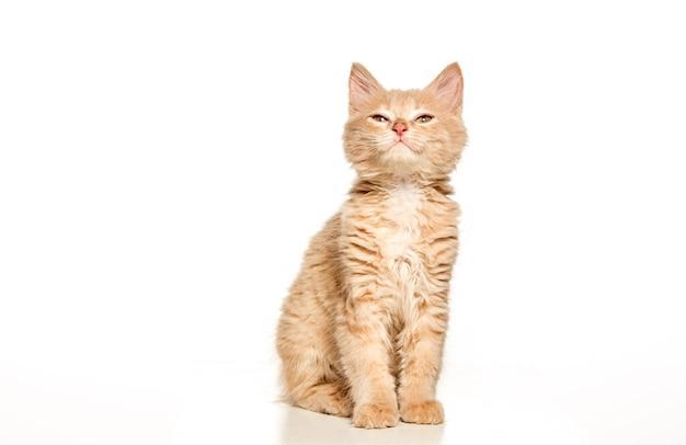 白いスタジオの背景に赤または白の猫 無料写真