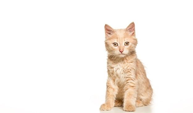 흰색 스튜디오 배경에 빨간색 또는 흰색 고양이 무료 사진