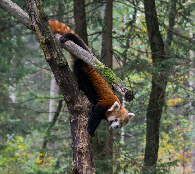 Red panda standing on brown tree trunk at daytime Free Photo