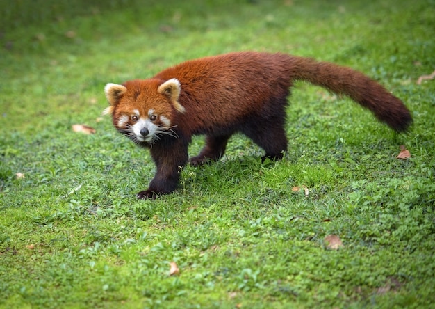 Red panda walks on a grass looking at camera Premium Photo