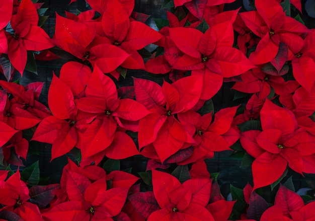 Red poinsettia flower, also known as the christmas star or bartholomew star. Premium Photo