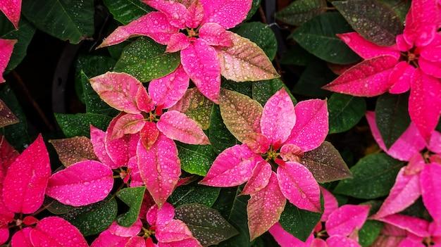 Red poinsettia plant in a garden. Premium Photo
