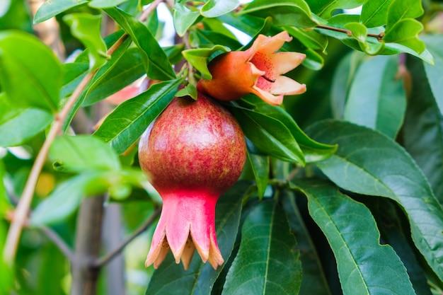 Red pomegranate flower bloom outdoor in a summer garden. Free Photo