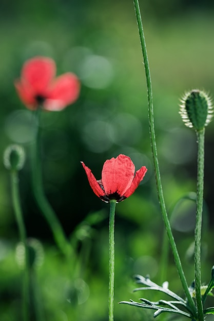 Red poppies on a meadow Premium Photo